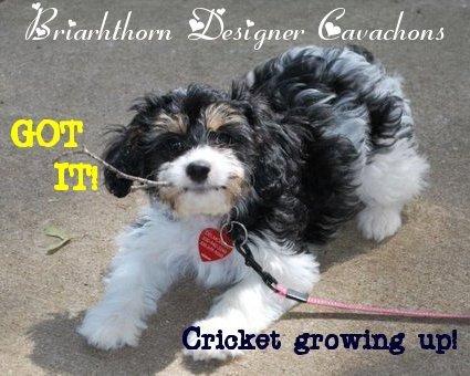 Adult Dog Food For Cavachon